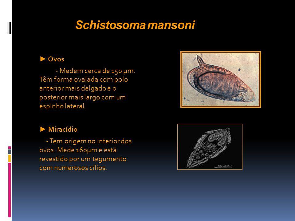 Schistosoma mansoni Ovos - Medem cerca de 150 µm. Têm forma ovalada com polo anterior mais delgado e o posterior mais largo com um espinho lateral. Mi