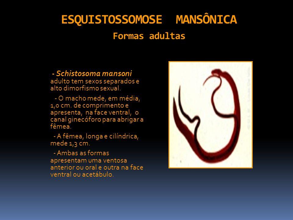 ESQUISTOSSOMOSE MANSÔNICA Formas adultas - Schistosoma mansoni adulto tem sexos separados e alto dimorfismo sexual. - O macho mede, em média, 1,0 cm.