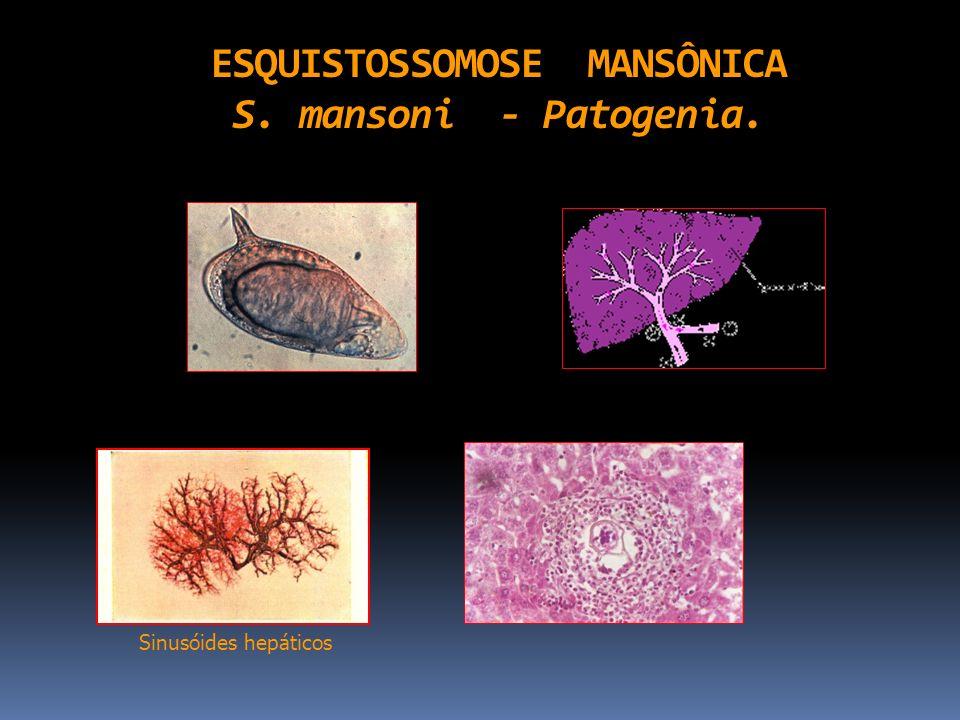 ESQUISTOSSOMOSE MANSÔNICA S. mansoni - Patogenia. Sinusóides hepáticos