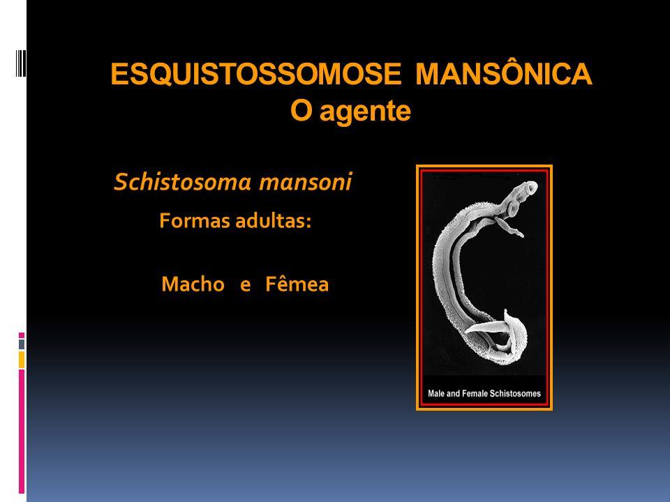 ESQUISTOSSOMOSE MANSÔNICA O agente Schistosoma mansoni Formas adultas: Macho e Fêmea