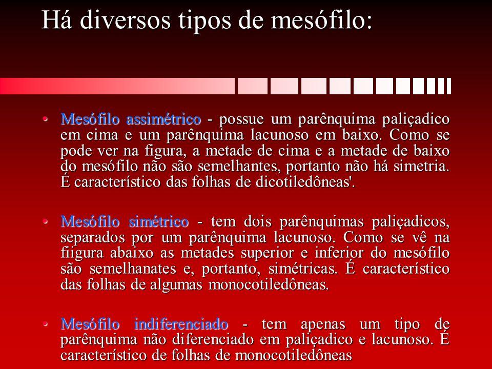 Há diversos tipos de mesófilo: Mesófilo assimétrico - possue um parênquima paliçadico em cima e um parênquima lacunoso em baixo. Como se pode ver na f