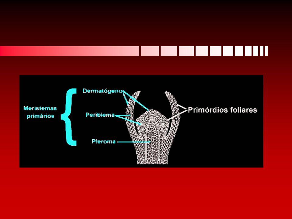 mesófilo - zona média da folha, é composto por: parênquima fotossintético.