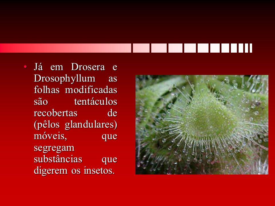 Já em Drosera e Drosophyllum as folhas modificadas são tentáculos recobertas de (pêlos glandulares) móveis, que segregam substâncias que digerem os in