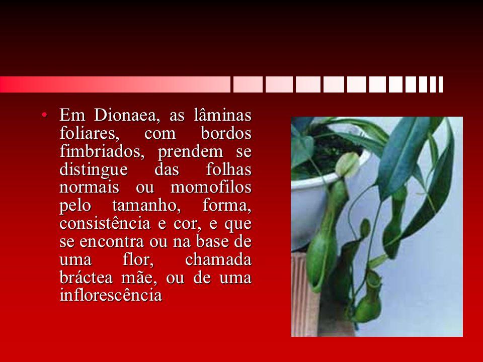 Em Dionaea, as lâminas foliares, com bordos fimbriados, prendem se distingue das folhas normais ou momofilos pelo tamanho, forma, consistência e cor,