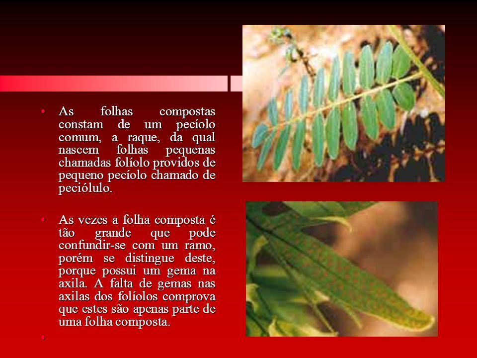 As folhas compostas constam de um pecíolo comum, a raque, da qual nascem folhas pequenas chamadas folíolo providos de pequeno pecíolo chamado de peció