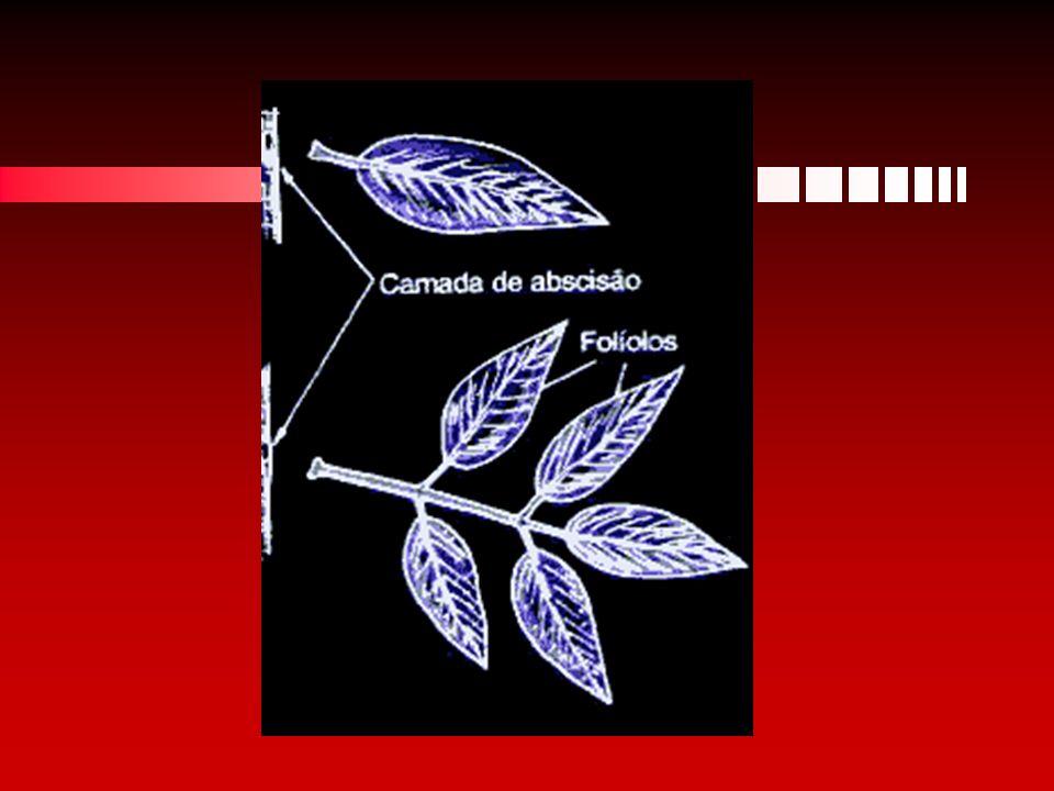 Folha completa Uma folha completa é formada por:Uma folha completa é formada por: Pecíolo - é a haste que sustenta a folha e a liga ao caulePecíolo - é a haste que sustenta a folha e a liga ao caule Limbo - é a parte achatada e dilatada da folhaLimbo - é a parte achatada e dilatada da folha especializada para receber a luz do sol e para realizar as trocas gasosas com o ambiente,especializada para receber a luz do sol e para realizar as trocas gasosas com o ambiente, Baínha - expansão achatada do pecíolo para aumentar a fixaçãoBaínha - expansão achatada do pecíolo para aumentar a fixação Estípulas - pequenos apêndices localizados na base do pecíolo, podem servir para aumentar a área fotossintetizante ou se transformam em espinhosEstípulas - pequenos apêndices localizados na base do pecíolo, podem servir para aumentar a área fotossintetizante ou se transformam em espinhos