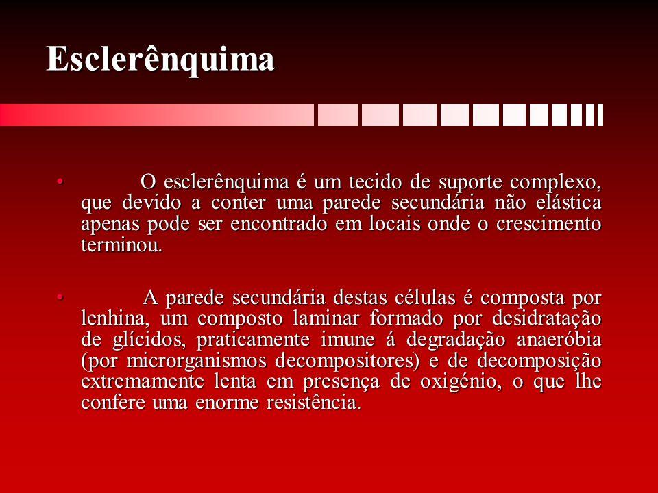 Esclerênquima O esclerênquima é um tecido de suporte complexo, que devido a conter uma parede secundária não elástica apenas pode ser encontrado em lo