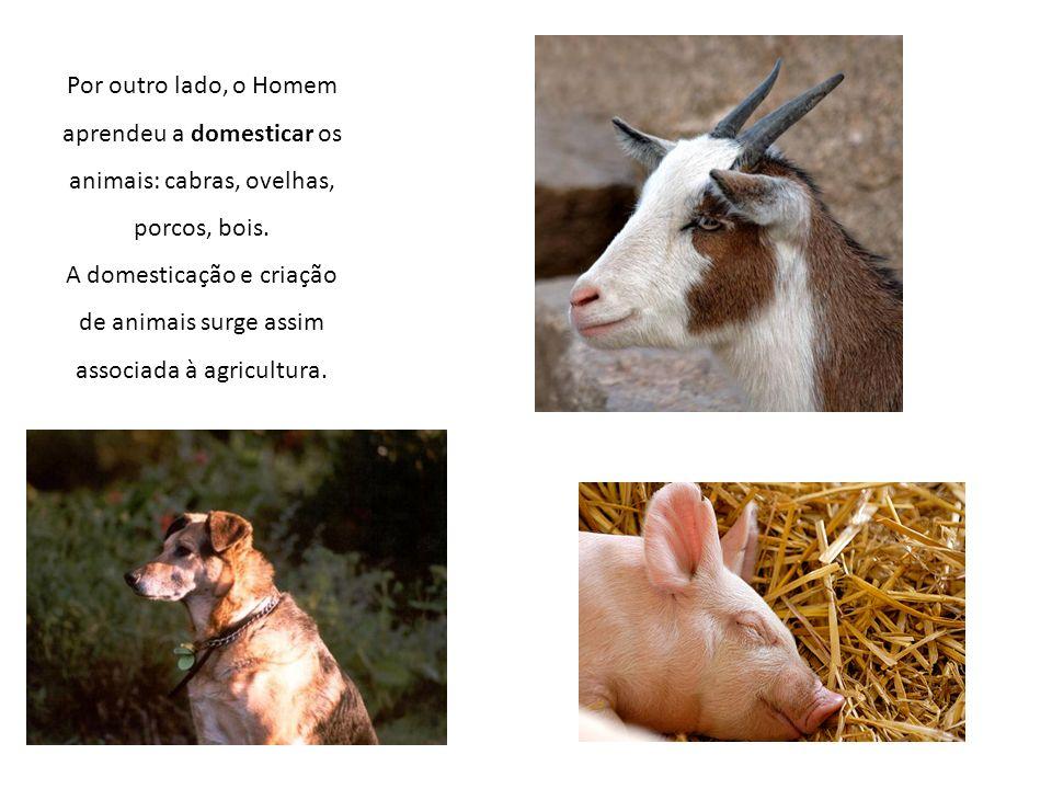 Por outro lado, o Homem aprendeu a domesticar os animais: cabras, ovelhas, porcos, bois. A domesticação e criação de animais surge assim associada à a