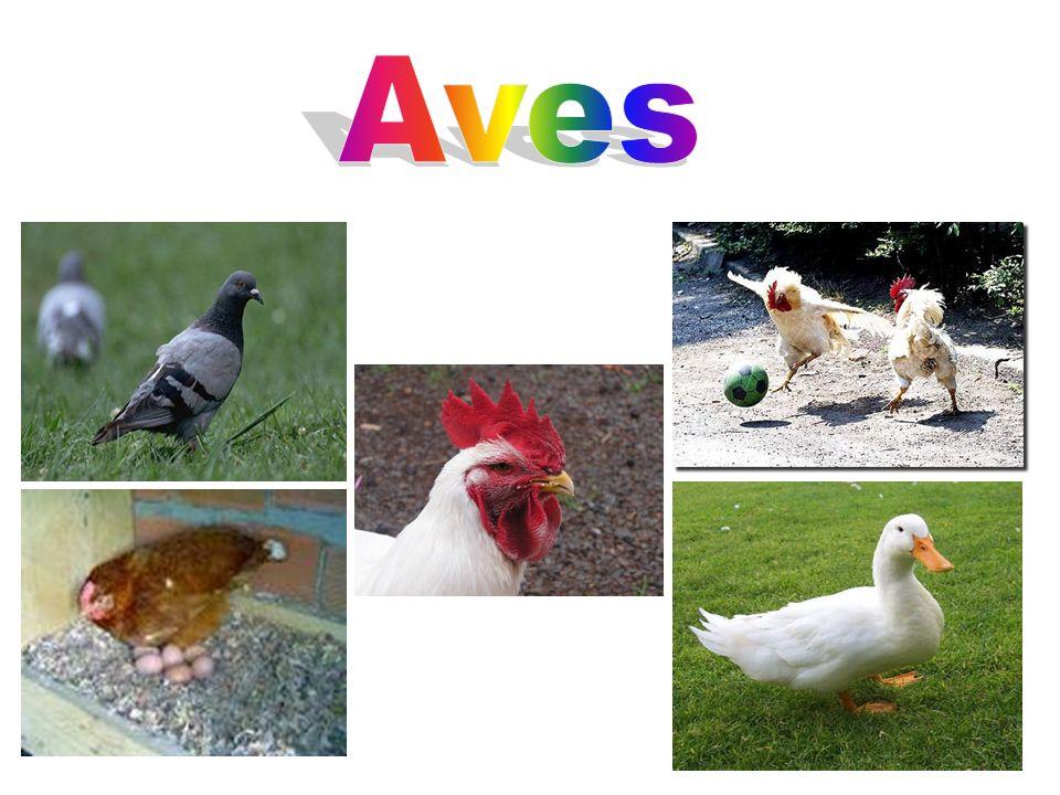 Aves As aves constituem uma classe de animais vertebrados, bípedes, homeotérmicos, ovíparos, caracterizados principalmente por possuírem penas, apêndices locomotores anteriores modificados em asas, bico córneo e ossos pneumáticos.