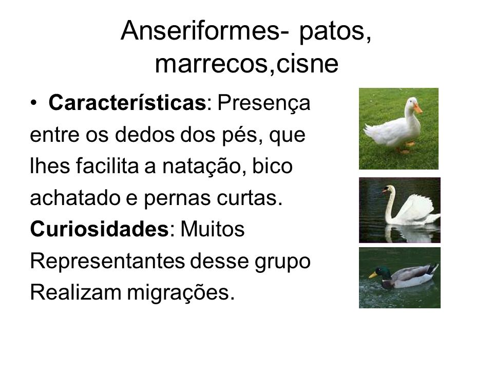 Anseriformes- patos, marrecos,cisne Características: Presença entre os dedos dos pés, que lhes facilita a natação, bico achatado e pernas curtas. Curi