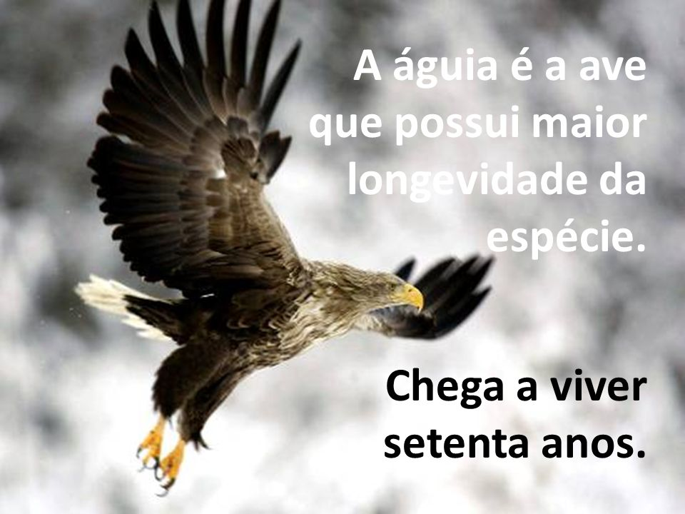 A águia é a ave que possui maior longevidade da espécie. Chega a viver setenta anos.