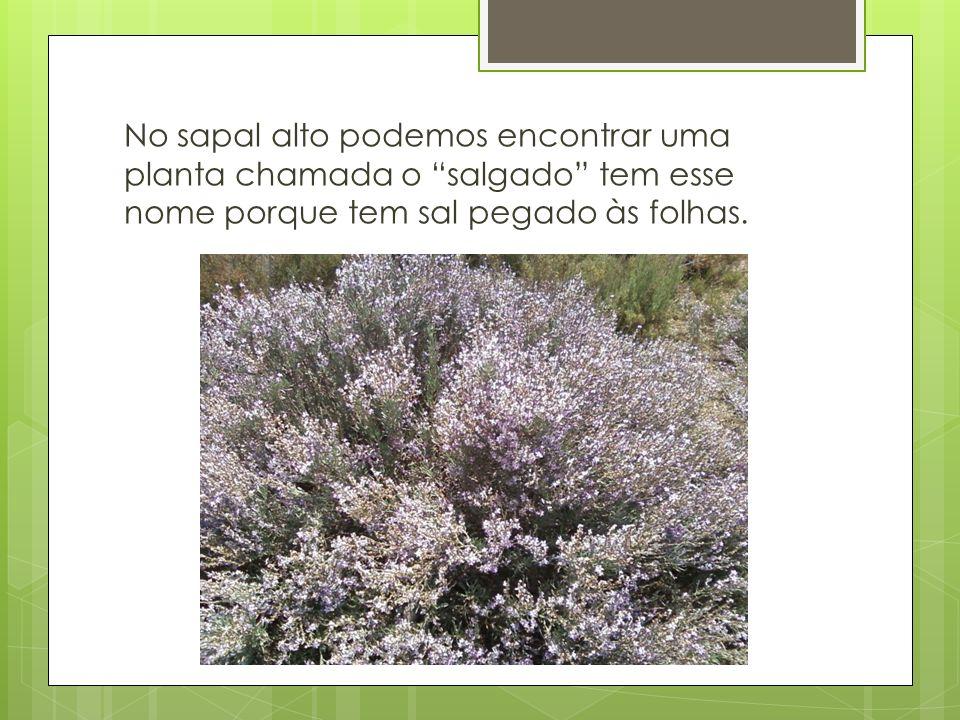 No sapal alto podemos encontrar uma planta chamada o salgado tem esse nome porque tem sal pegado às folhas.