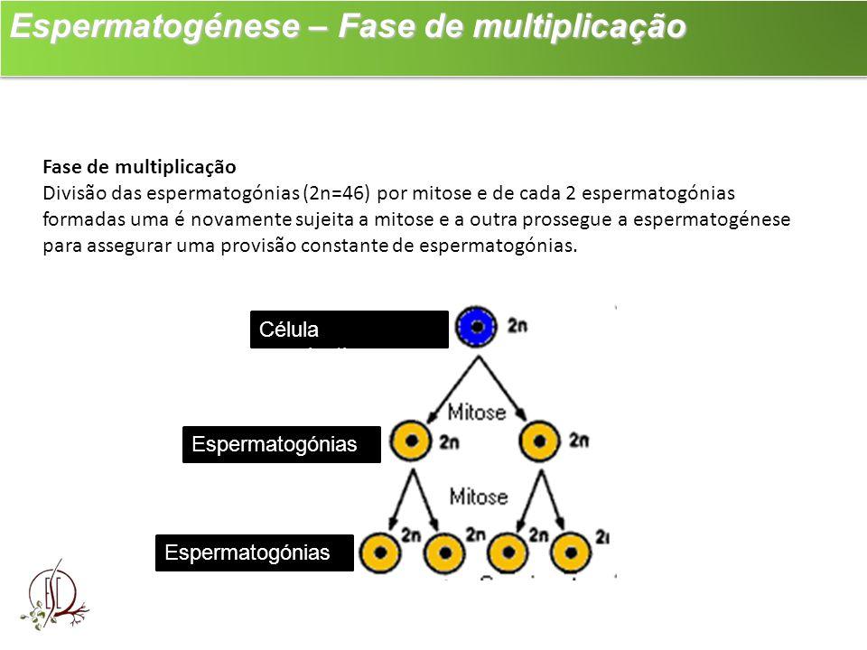 Espermatogénese – Fase de multiplicação Espermatogénese – Fase de multiplicação Fase de multiplicação Divisão das espermatogónias (2n=46) por mitose e