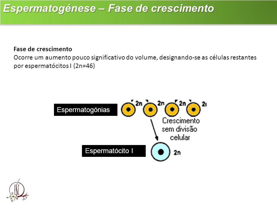Espermatogénese – Fase de crescimento Espermatogénese – Fase de crescimento Fase de crescimento Ocorre um aumento pouco significativo do volume, desig