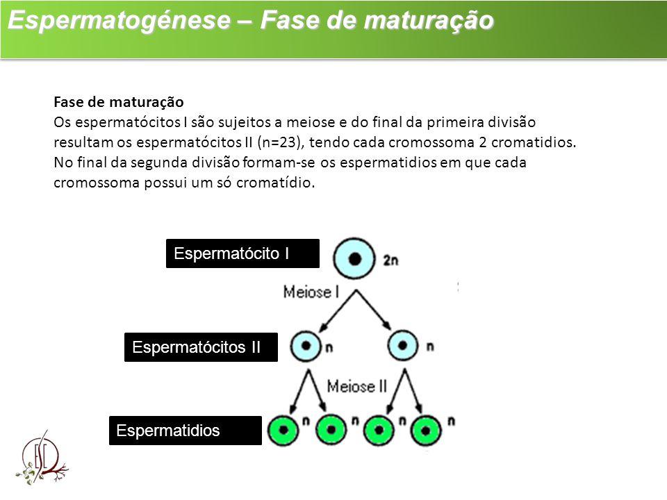 Espermatogénese – Fase de maturação Espermatogénese – Fase de maturação Fase de maturação Os espermatócitos I são sujeitos a meiose e do final da prim