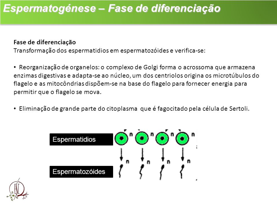 Espermatogénese – Fase de diferenciação Espermatogénese – Fase de diferenciação Fase de diferenciação Transformação dos espermatidios em espermatozóid