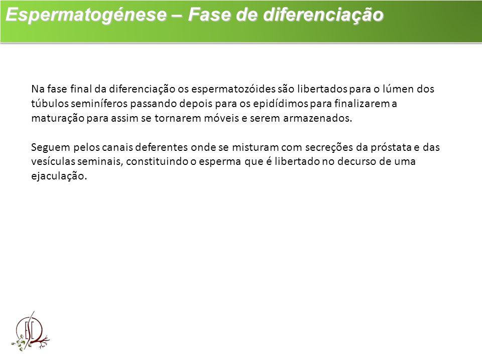 Espermatogénese – Fase de diferenciação Espermatogénese – Fase de diferenciação Na fase final da diferenciação os espermatozóides são libertados para