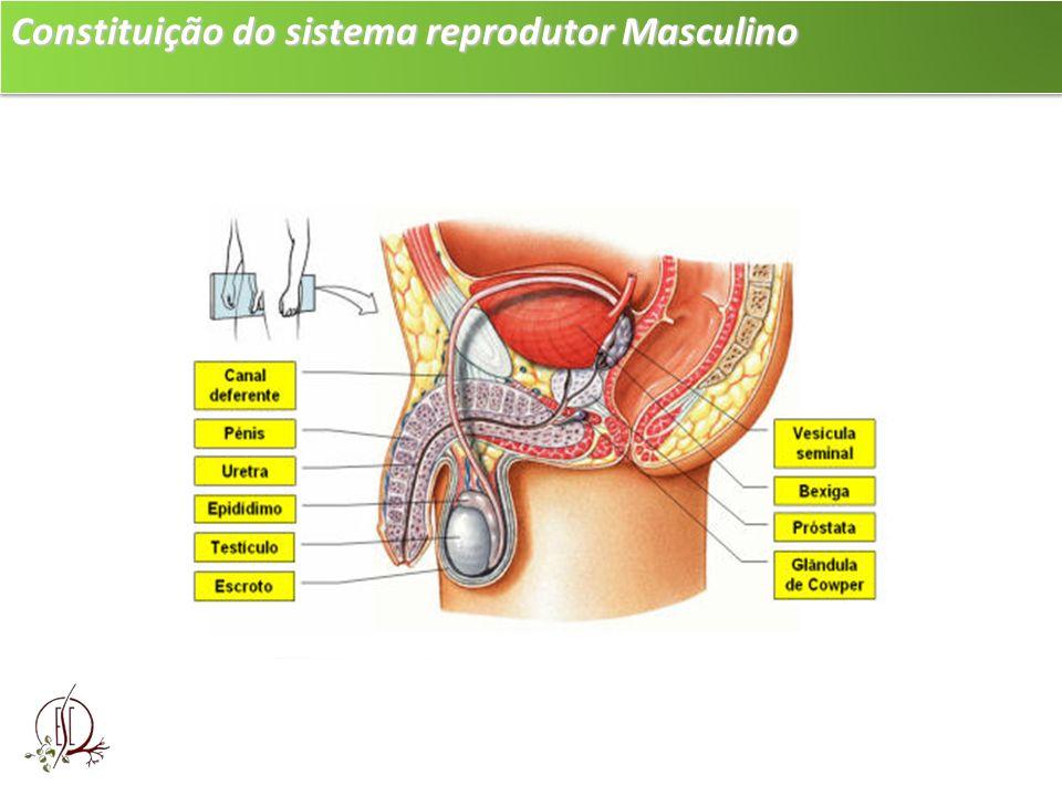 Constituição do sistema reprodutor Masculino Epidídimos: dois tubos enovelados que partem dos testículos, onde os espermatozóides são armazenados.