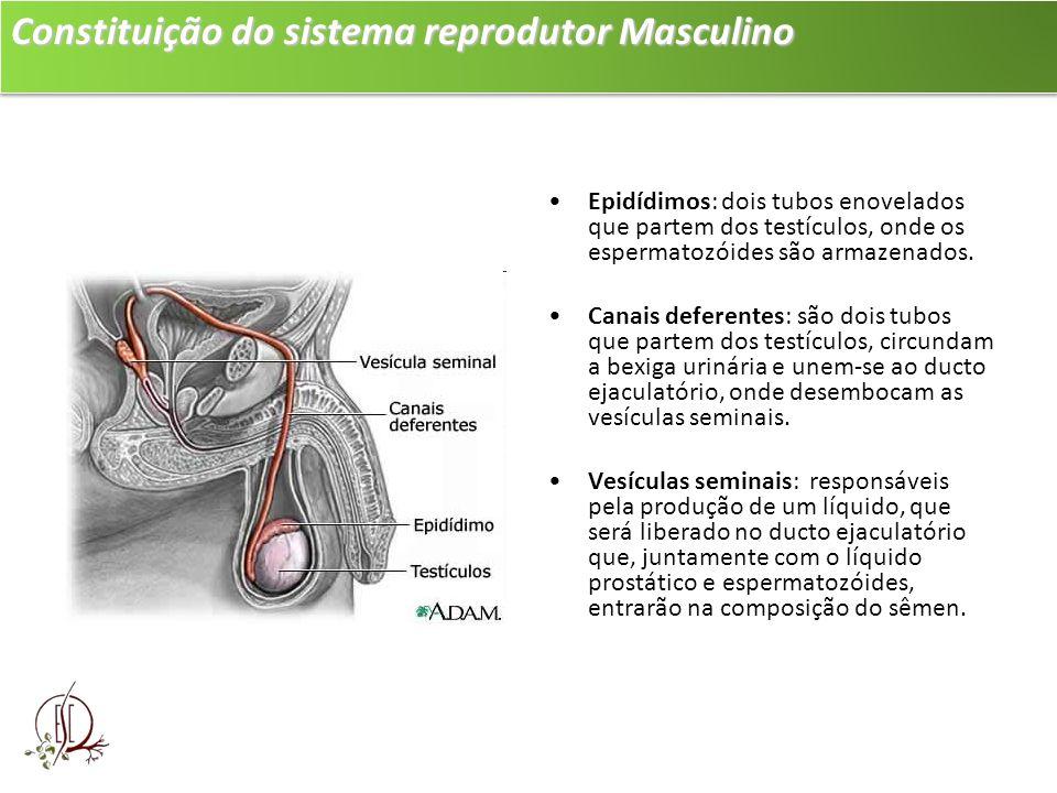 Constituição do sistema reprodutor Masculino Epidídimos: dois tubos enovelados que partem dos testículos, onde os espermatozóides são armazenados. Can