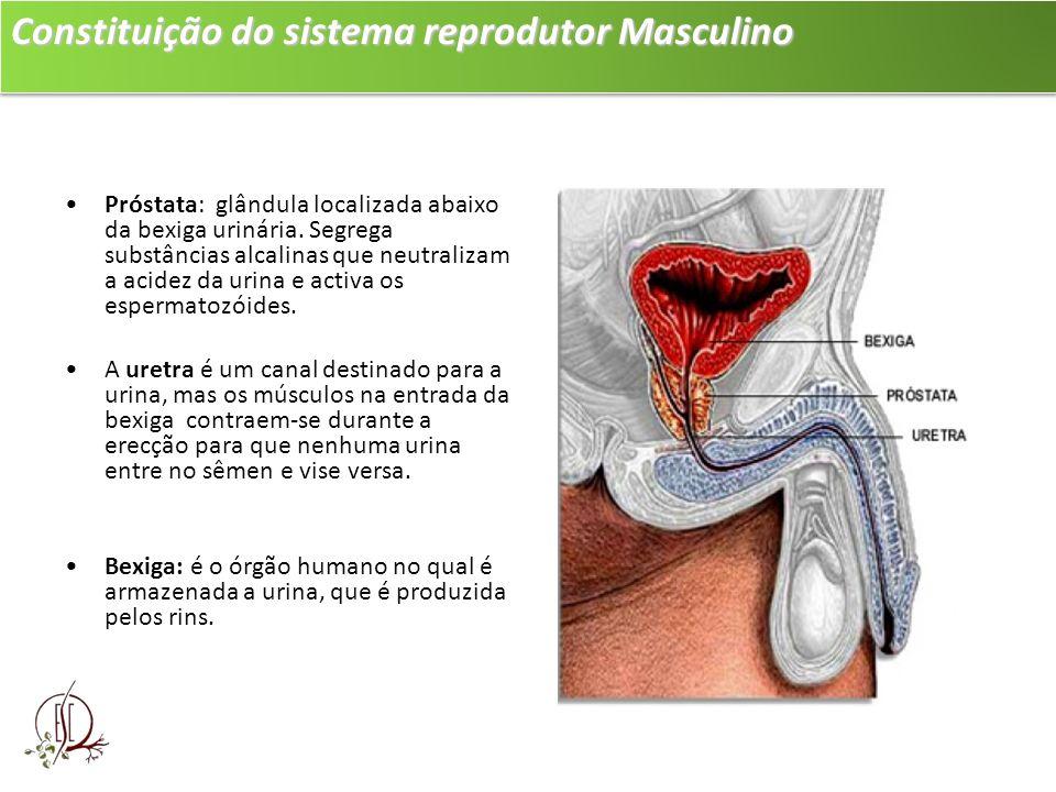 Constituição do sistema reprodutor Masculino Próstata: glândula localizada abaixo da bexiga urinária. Segrega substâncias alcalinas que neutralizam a