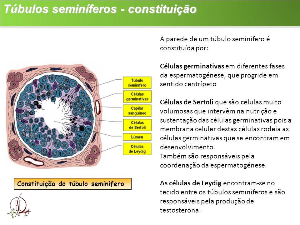 Túbulos seminíferos - constituição Túbulos seminíferos - constituição Constituição do túbulo seminífero A parede de um túbulo seminífero é constituída