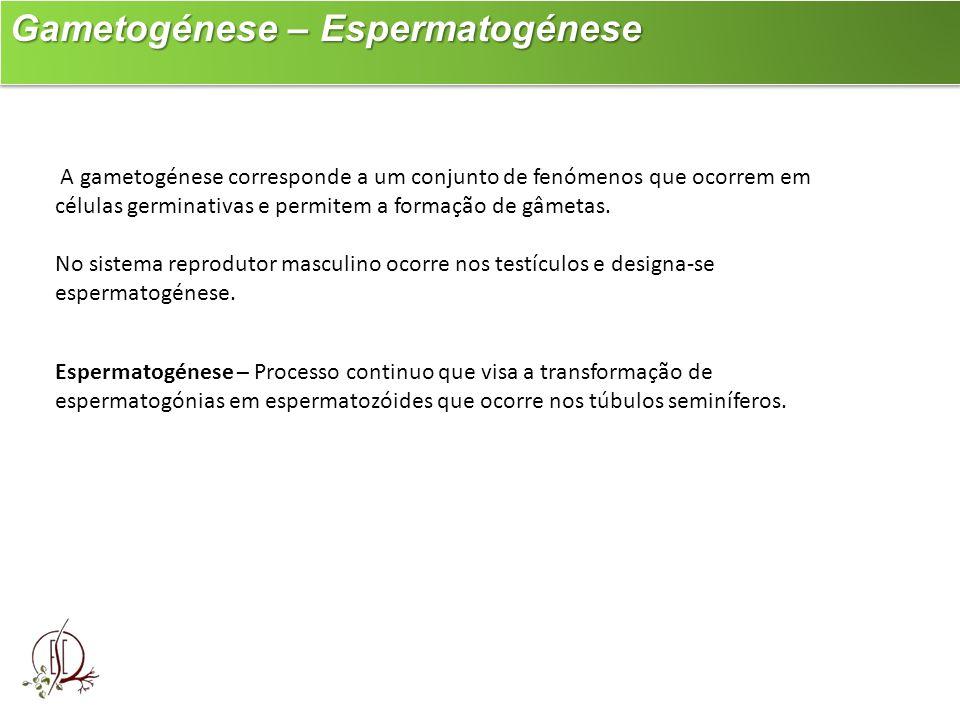 Gametogénese – Espermatogénese Gametogénese – Espermatogénese A gametogénese corresponde a um conjunto de fenómenos que ocorrem em células germinativa