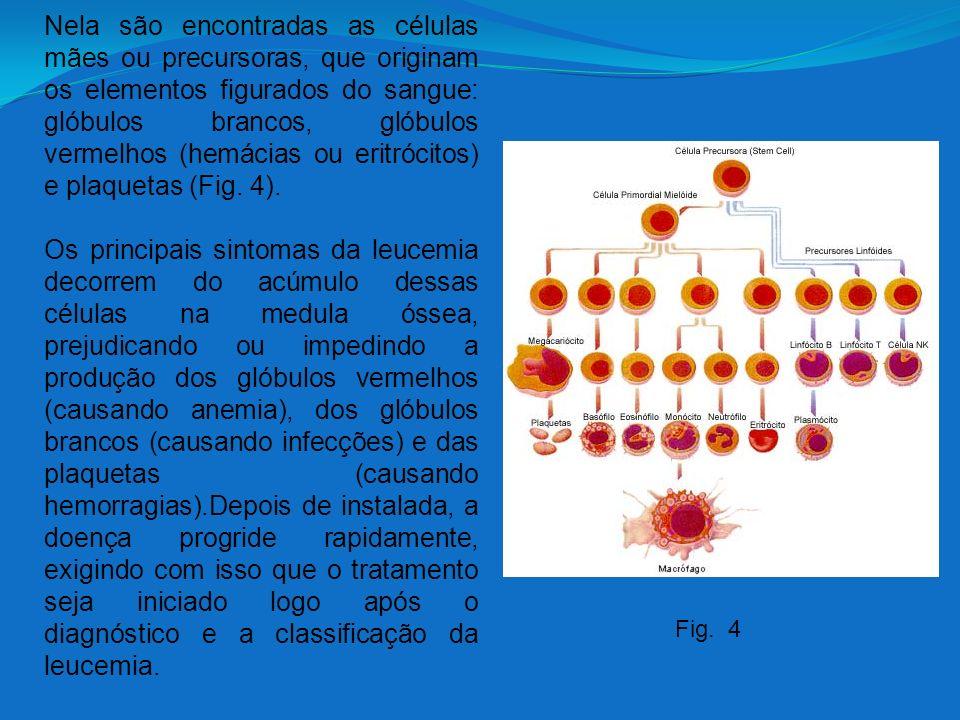 Nela são encontradas as células mães ou precursoras, que originam os elementos figurados do sangue: glóbulos brancos, glóbulos vermelhos (hemácias ou