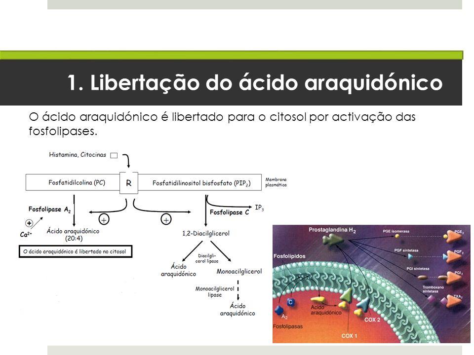 1. Libertação do ácido araquidónico O ácido araquidónico é libertado para o citosol por activação das fosfolipases.