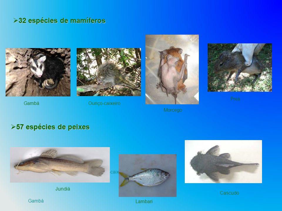 Gambá Ouriço-caixeiro Preá 32 espécies de mamíferos 32 espécies de mamíferos Jundiá Lambari Cascudo Preá Morcego Ouriço-caixeiroGambá 57 espécies de p
