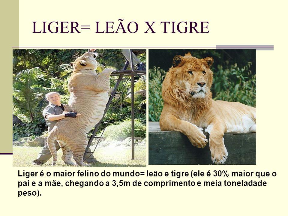 LIGER= LEÃO X TIGRE Liger é o maior felino do mundo= leão e tigre (ele é 30% maior que o pai e a mãe, chegando a 3,5m de comprimento e meia toneladade