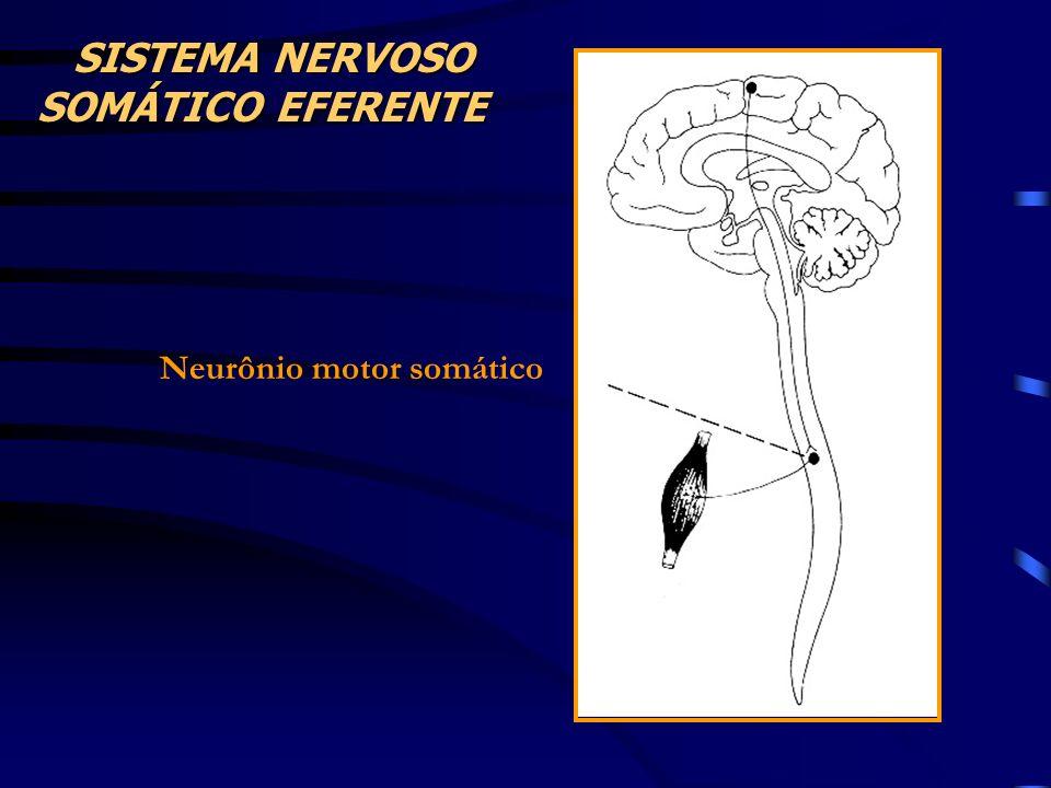 Neurônio motor somático SISTEMA NERVOSO SISTEMA NERVOSO SOMÁTICO EFERENTE