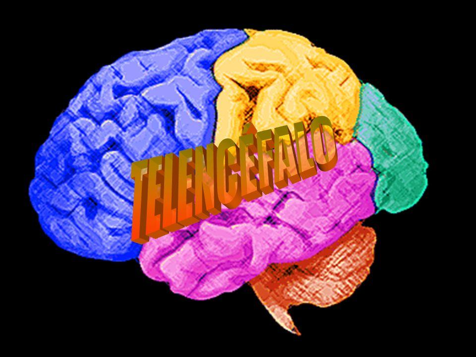 Córtex - Camada de Substância cinzenta periférica na superfície dos hemisférios cerebrais.