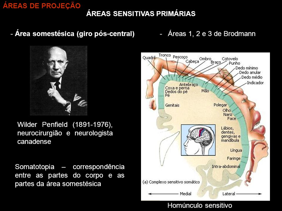 ÁREAS SENSITIVAS PRIMÁRIAS - Área somestésica (giro pós-central) Homúnculo sensitivo Wilder Penfield (1891-1976), neurocirurgião e neurologista canade