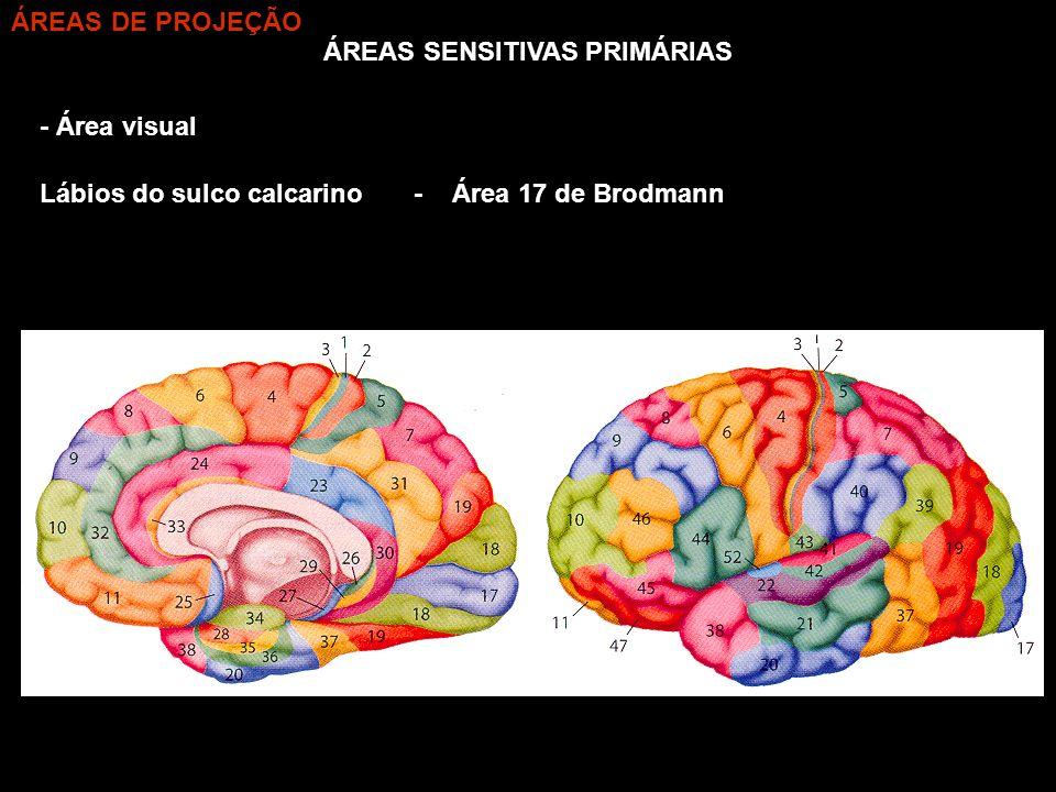 ÁREAS SENSITIVAS PRIMÁRIAS - Área visual Lábios do sulco calcarino- Área 17 de Brodmann ÁREAS DE PROJEÇÃO
