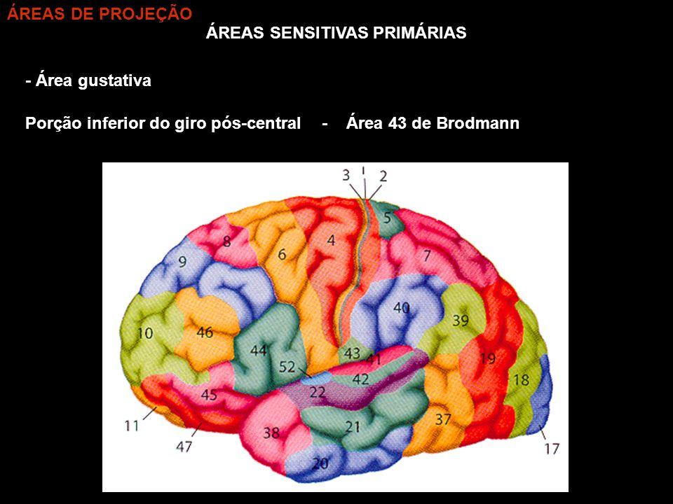ÁREAS SENSITIVAS PRIMÁRIAS - Área gustativa - Área 43 de BrodmannPorção inferior do giro pós-central ÁREAS DE PROJEÇÃO