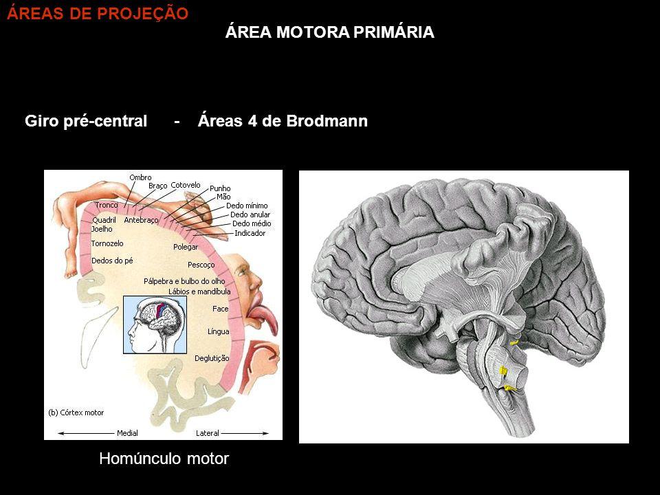 ÁREA MOTORA PRIMÁRIA Giro pré-central- Áreas 4 de Brodmann ÁREAS DE PROJEÇÃO Homúnculo motor