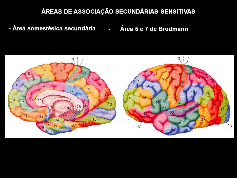 ÁREAS DE ASSOCIAÇÃO SECUNDÁRIAS SENSITIVAS - Área somestésica secundária - Área 5 e 7 de Brodmann
