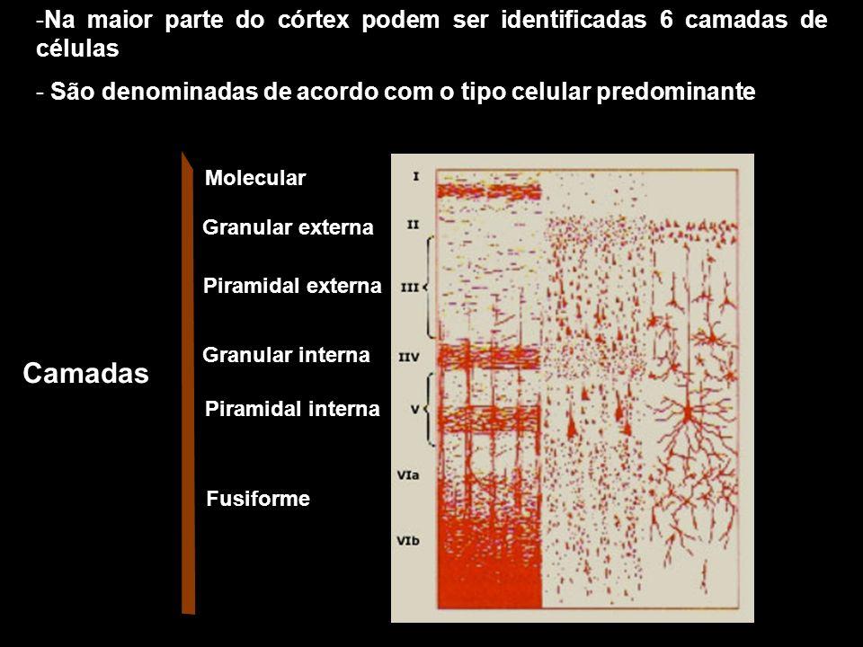 - Camada molecular - pobre em células - Camadas granulares - Células granulares (pequenas em forma de estrela) Interneurônios corticais que recebem informações que chegam ao córtex e repassam a outras células aí presentes.