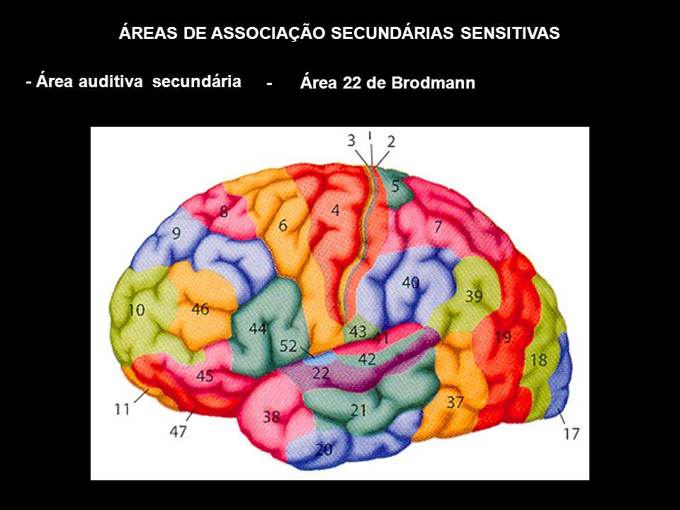 ÁREAS DE ASSOCIAÇÃO SECUNDÁRIAS SENSITIVAS - Área auditiva secundária - Área 22 de Brodmann