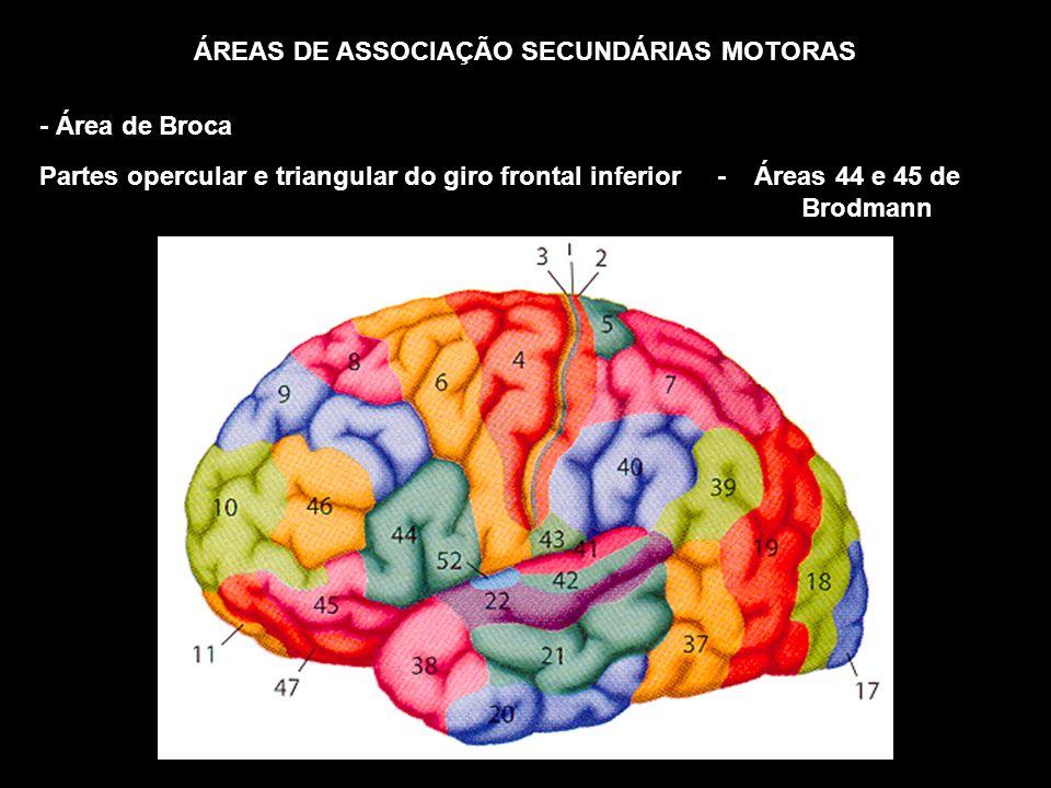 ÁREAS DE ASSOCIAÇÃO SECUNDÁRIAS MOTORAS - Área de Broca Partes opercular e triangular do giro frontal inferior - Áreas 44 e 45 de Brodmann