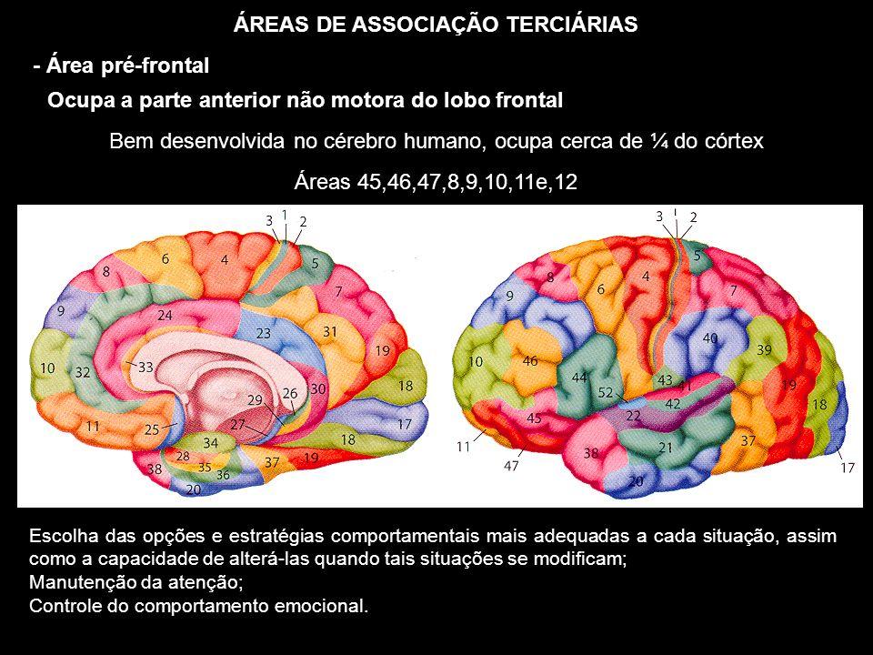 ÁREAS DE ASSOCIAÇÃO TERCIÁRIAS - Área pré-frontal Ocupa a parte anterior não motora do lobo frontal Áreas 45,46,47,8,9,10,11e,12 Bem desenvolvida no c