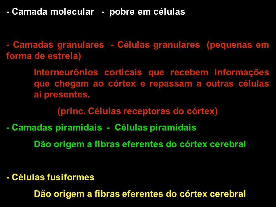 - Camada molecular - pobre em células - Camadas granulares - Células granulares (pequenas em forma de estrela) Interneurônios corticais que recebem in
