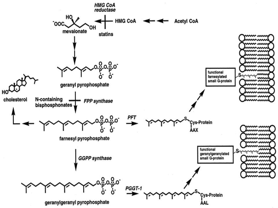 Palmitoilação de proteínas Adição de palmitato (C16) à resíduos de cisteína – ligação N-amida ou tioéster (S-acetilação).