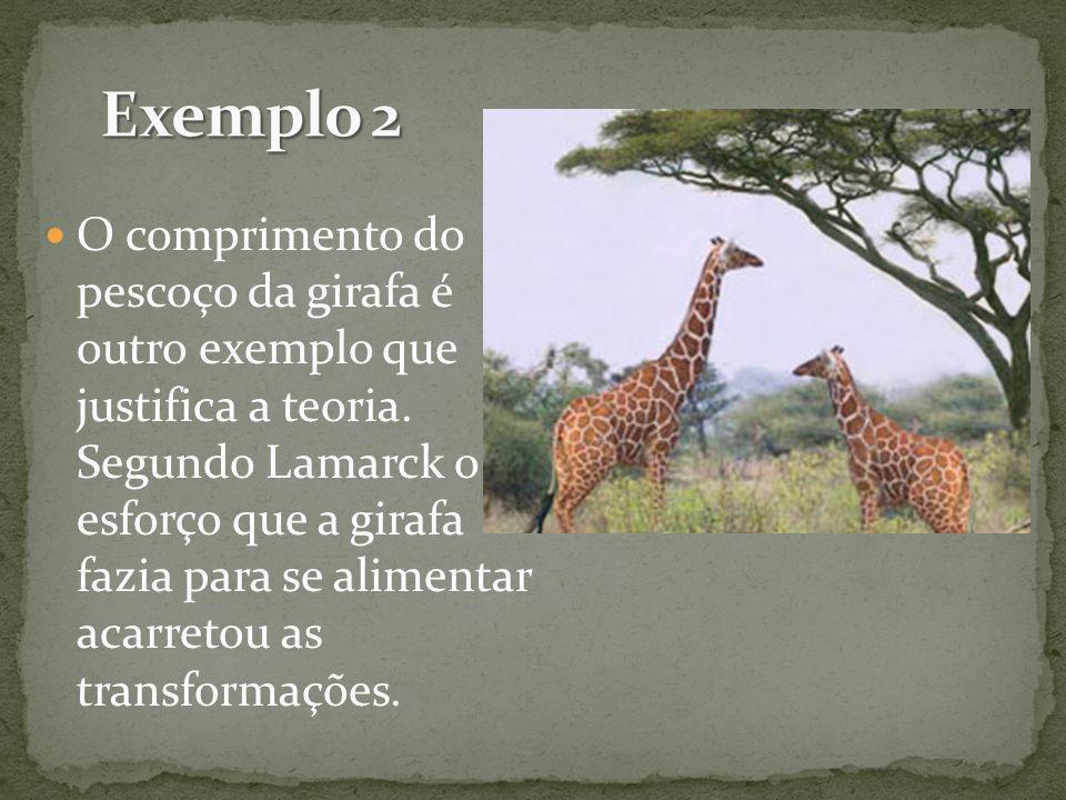 O comprimento do pescoço da girafa é outro exemplo que justifica a teoria. Segundo Lamarck o esforço que a girafa fazia para se alimentar acarretou as