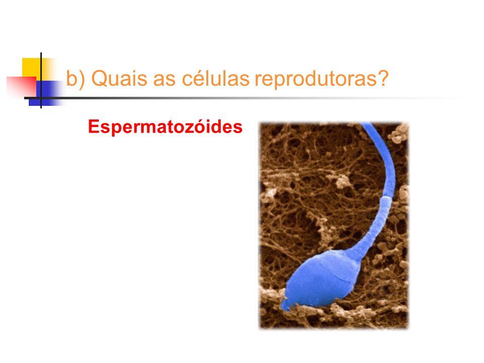 b) Quais as células reprodutoras? Espermatozóides