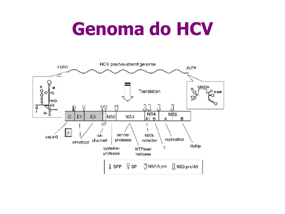 Genoma do HCV