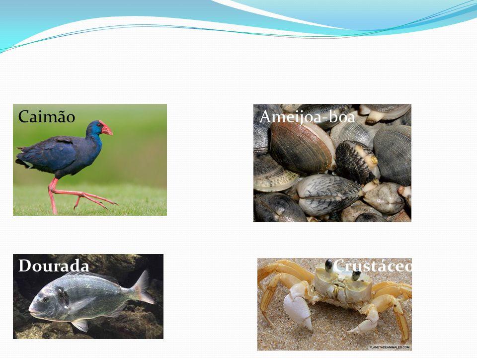 Caimão Ameijoa-boa Dourada Crustáceo