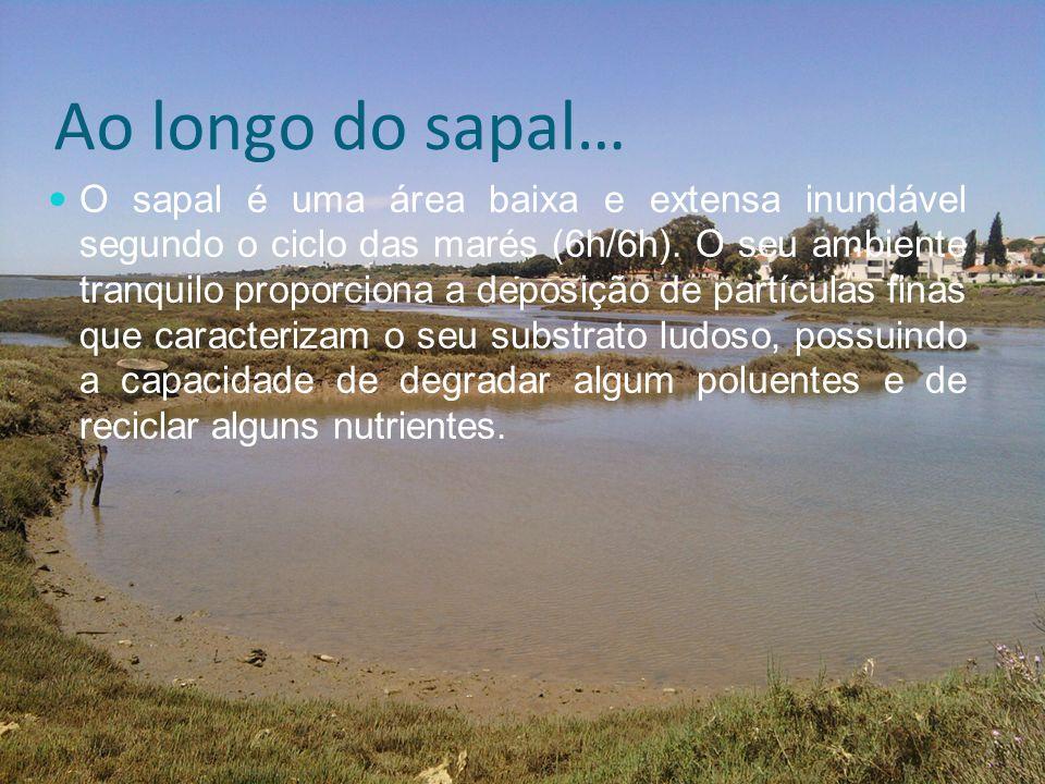 Ao longo do sapal… O sapal é uma área baixa e extensa inundável segundo o ciclo das marés (6h/6h). O seu ambiente tranquilo proporciona a deposição de