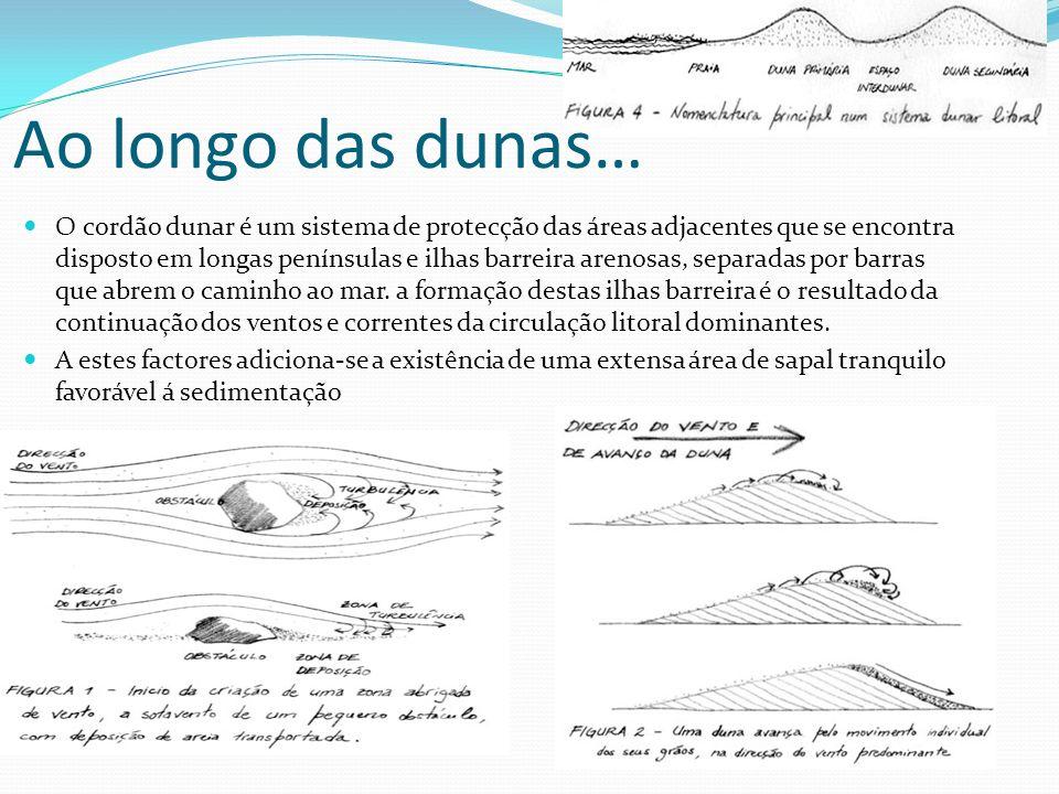 Ao longo das dunas… O cordão dunar é um sistema de protecção das áreas adjacentes que se encontra disposto em longas penínsulas e ilhas barreira areno