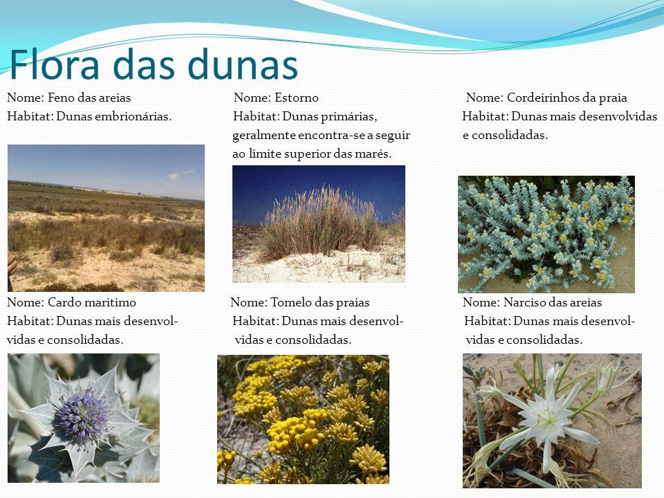 Flora das dunas Nome: Feno das areias Nome: Estorno Nome: Cordeirinhos da praia Habitat: Dunas embrionárias. Habitat: Dunas primárias, Habitat: Dunas